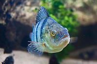 Europe/France/Rhône-Alpes/74/Haute-Savoie/Annecy: Perche, poisson spécifique du Lac d'Annecy- dans les aquariums du Musée-Château d'Annecy