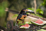 A Collared Aracari stops by for lunch at Duplooy's Jungle Lodge in the Cayo District of Belize