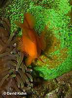 0322-1107  Tomato Clownfish Tending Eggs, Amphiprion frenatus  © David Kuhn/Dwight Kuhn Photography