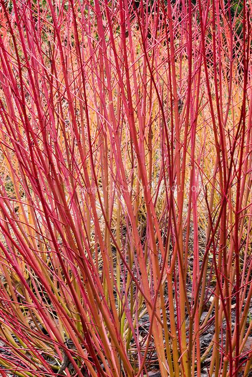 Cornus alba 'Ruby aka Sibricia Ruby in red & orange winter stems