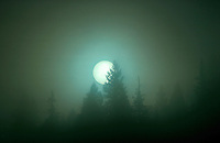 Sun and fog with conifer trees