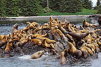 Steller's sea lions or Northern sea lions.