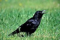 BL04-010z  Crow - cawing - Corvus brachyrhynchos