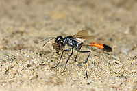 Dreiphasen-Sandwespe, Dreiphasensandwespe, Grabwespe, Ammophila pubescens, Heath Sand Wasp