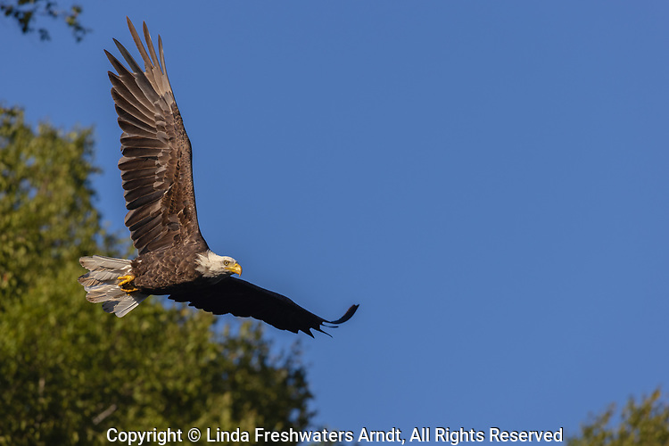 Bald eagle flying over Barber Lake in northern Wisconsin.