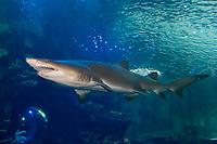 Sand Tiger Shark (Carcharias taurus) (c) Photo taken at the Newport Aquarium, KY. USA.