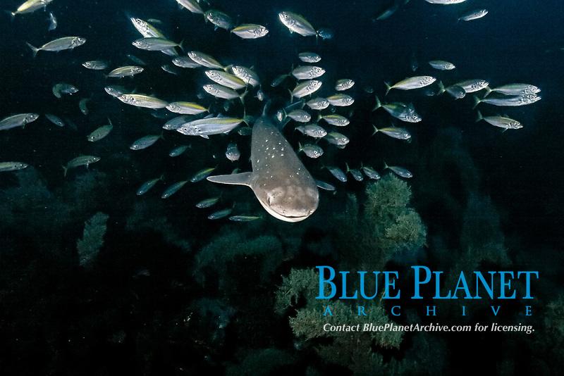 broadnose or bluntnose sevengill shark or spotted cow shark, Notorynchus cepedianus, with koheru scad, Decapterus koheru New Zealand (South Pacific Ocean)