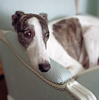 Portrait of a whippet with his head resting on the arm of an elegant chair