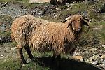 Mountain sheep in the Alps near the Matterhorn, Zermatt, Switzerland.