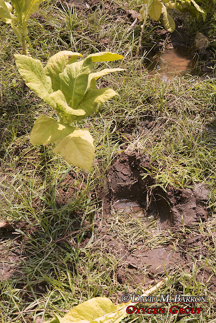 Elephant FootPrint Among Crops