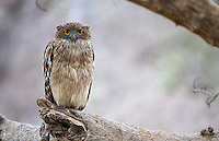 The Brown fish owl is the largest of four owl species I saw on this trip.