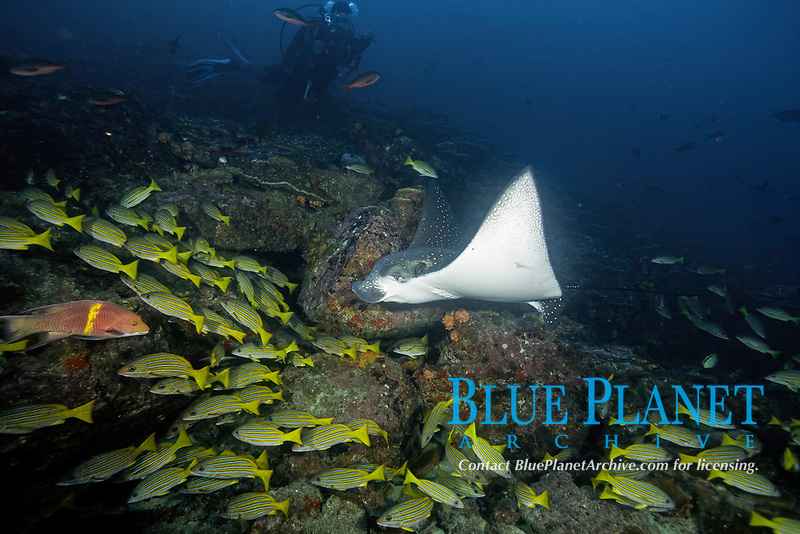 Pacific white-spotted eagle ray, Aetobatus laticeps and Blue and gold snapper, Lutjanus viridis, Cocos Island, Cocos Island National Park, Natural World Heritage Site, Costa Rica, East Pacific Ocean