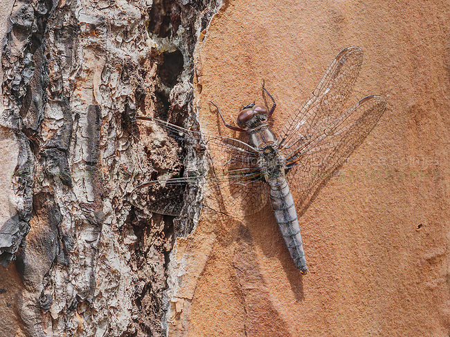 A female Blue Corporal (Ladona deplanta) dragonfly perches on the side of a slash pine tree.
