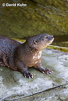 0507-1002  African Spot-necked Otter, Lutra maculicollis  © David Kuhn/Dwight Kuhn Photography.