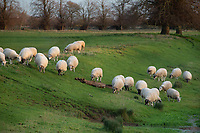1/12/2020 Sheep grazing on a river bank in Lincolnshire <br /> ©Tim Scrivener Photographer 07850 303986<br />      ....Covering Agriculture In The UK....
