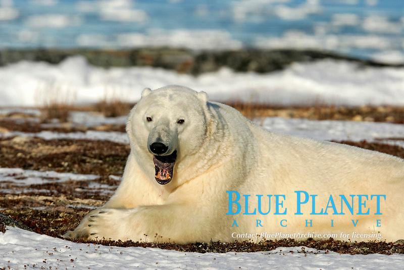 Adult male Polar Bear, Ursus maritimus, yawning near Churchill, Manitoba, Canada., polar bear, Ursus maritimus