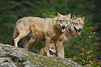 Grey Wolf (Canis lupus), pair captive, Bavarian Forest, Bavaria, Germany
