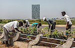 13 September, 2013, Ahmedabad, Gujarat INDIA : Gardiners plant the new landscape in front of  Gujarat's tallest building in the new Gujarat International Finance Tec - City (GIFT CITY) development in Ahmedabad. A sprawling complex that is hoping to attract investment and hi tech tenants it is a symbol of the state's economic future. Chief Minister of Gujarat , Narendra Modi has been announced as the Prime Ministerial candidate for the opposition BJP party in the Indian general elections slated for 2014.  One of his great achievements has  been continual supply of power.  Mr.Modi has been a controversial figure since his involvement in the 2002 Gujarat riots where a train full of Hindu pilgrims was attacked by Muslims returning from a disputed temple site in Ayodhya.  In retaliation some estimate up to 2000 Muslims lost their lives in communal violence.   Mr. Modi is alleged to have condoned the violence despite being cleared of any allegations by a Special Investigation Team (SIT) appointed by the Supreme Court of India. Picture by Graham Crouch/New York Times