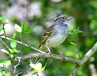 Adult white-throated sparrow