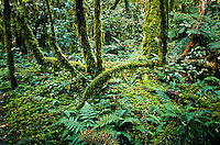 Rainforest scene on Hollyford Track - Fiordland NP, Southland, New Zealand