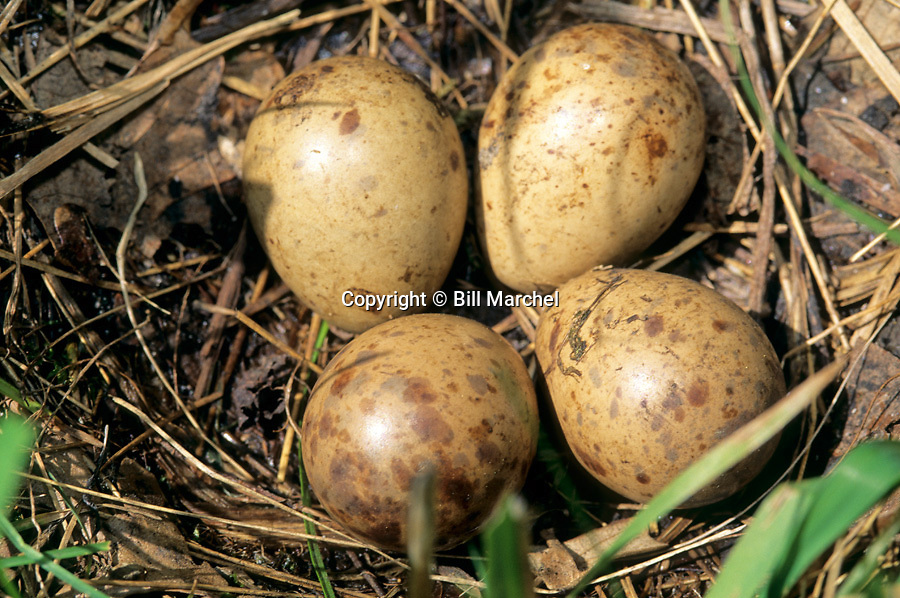 01262-010.11 American Woodcock nest containing the typical four eggs.