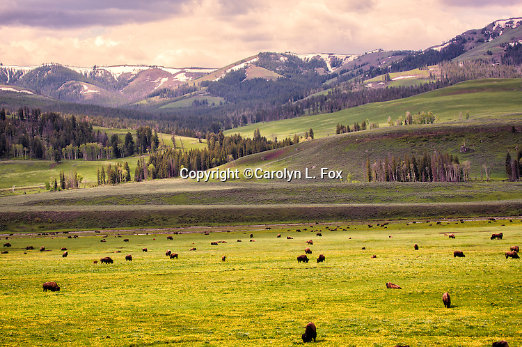 Bison stand in a meadow in Yellowstone.