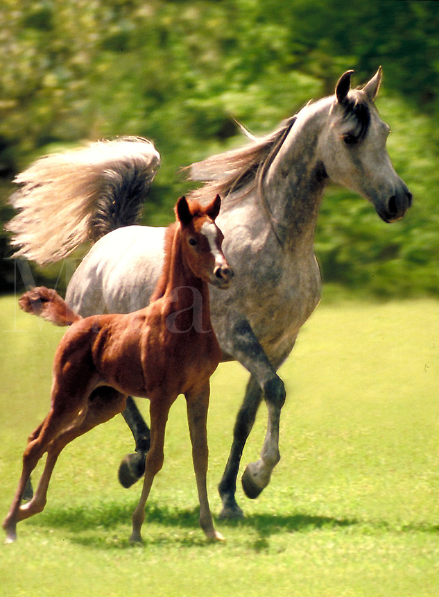 Arabian Mare with foal trotting in pasture stride by side. Vertical. horse, horses, animals.