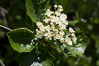 Breitblättrige Mehlbeere, Sorbus latifolia, broad-leaved whitebeam, service tree of Fontainebleau, L'Alisier de Fontainebleau, Sorbier à larges feuilles