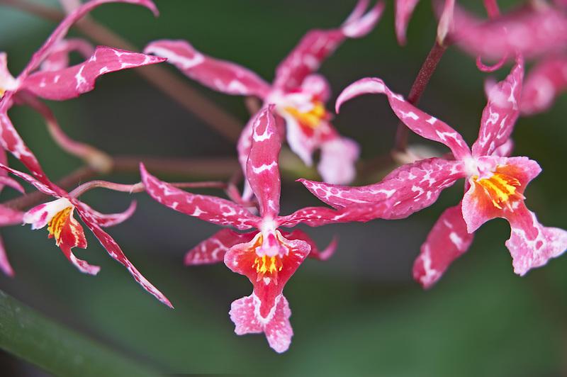 Orchid. charlsworthii x odm.cirrhosum. Oregon Coast Garden Center.