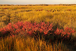 Salicornia light up the marsh on a fall day in a Chesapeake Bay salt marsh.    The green stalks of the salicornia, or  salt wort, turn bright red in the fall.