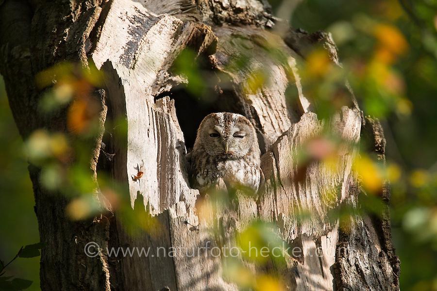 Waldkauz, ruht am Tage in einer Baumhöhle, Strix aluco, Wald-Kauz, Kauz, Käuzchen, tawny owl