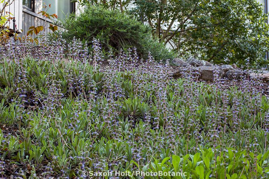 Salvia sonomensis 'Greenberg Gray' flowering shade groundcover, California native plant garden; Katherine Greenberg