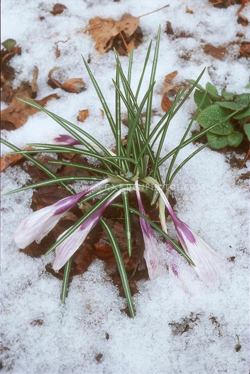 Crocus in snow, spring bulb flowering