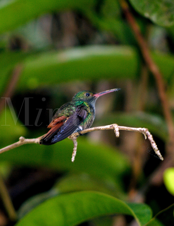 Rufous-tailed Hummingbird (Amazilia tzacatl)  sitting on a branch in Costa Rica