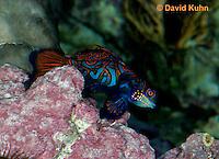 0118-08yy  Mandarin dragonet - Mandarin goby - Synchiropus splendidus © David Kuhn/Dwight Kuhn Photography