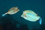 Acanthostracion polygonius, Honeycomb cowfish, Tobago