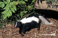MA09-020z  Striped Skunk - in forest - Mephitis mephitis