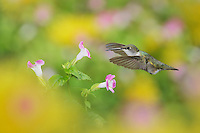 Ruby-throated Hummingbird (Archilochus colubris), female in flight feeding on Wishbone flower (Torenia fournieri), Hill Country, Texas, USA