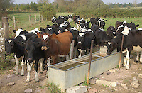 March and April born calves at a water trough.