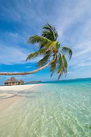 Maldives, Rangali Island. Conrad Hilton Resort. Palm tree over the ocean.