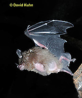0723-0801 Seba's Short-tailed Bat taking off from roost, Carollia perspicillata © David Kuhn/Dwight Kuhn Photography,  Photography digitally cleaned