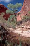 Coyote Gulch, Glen Canyon National Recreation Area, Utah, Southwest USA, Fremont cottonwood, natural spring,