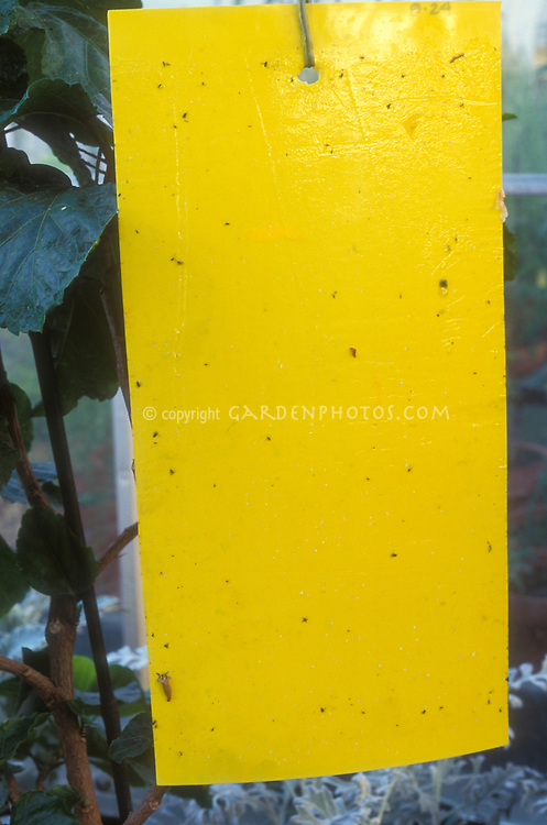 Sticky trap biological natural organic pest control of insects