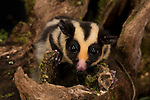 The striped possum (Dactylopsila trivirgata) is a member of the Petauridae family, one of the marsupial families. The species is black with three white stripes running head to tail, and its head has white stripes that form a 'Y' shape. It is closely related to the Sugar Glider, and is similar in appearance.