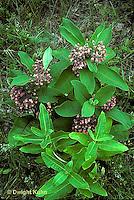 MK17-006e  Milkweed - plant in bloom- Asclepias syriaca