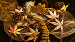 Dried forest duff, maple and rhododendron leaves, fir cones, bracken fern, and Old Man's Beard.