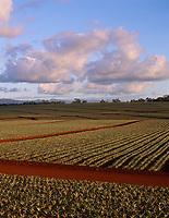 Pineapple Fields, Oahu, Hawaii, USA.