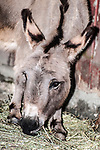 miniature donkey close-up of face 45 degrees to camera