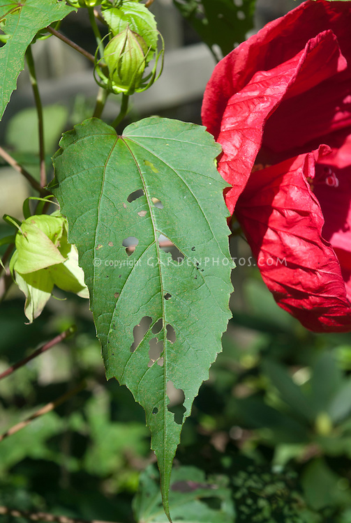 Slug insect damage pest insect problem on Hibiscus moscheutos leaves, holes chewed in leaf, next to red flower, garden problem infestation