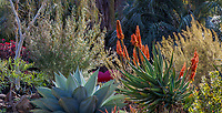 Aloe 'Orange Popsicle' (A. arborescens x ferox ) flowering in winter - Ruth Bancroft Garden